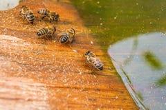 Agua potable de las abejas en el verano Imagen de archivo