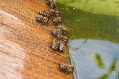 Agua potable de las abejas en el verano Fotografía de archivo