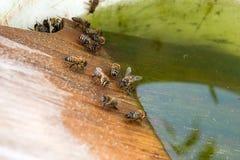 Agua potable de las abejas en el verano Imagenes de archivo