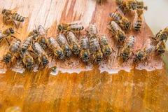 Agua potable de las abejas en el verano Imágenes de archivo libres de regalías