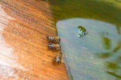 Agua potable de las abejas en el verano Foto de archivo