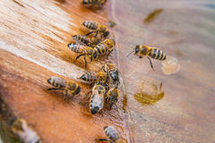 Agua potable de las abejas en el verano Fotos de archivo libres de regalías
