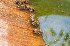 Agua potable de las abejas en el verano Fotografía de archivo libre de regalías