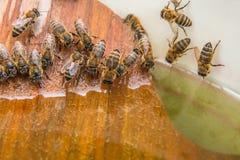 Agua potable de las abejas en el verano Fotos de archivo