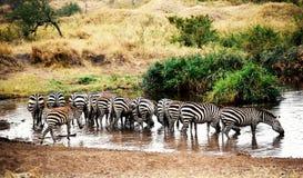 Agua potable de las cebras Fotografía de archivo libre de regalías
