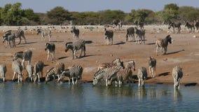 Agua potable de las cebras de los llanos - Etosha almacen de metraje de vídeo