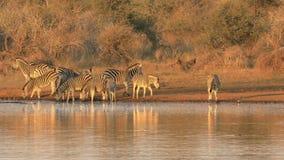 Agua potable de las cebras de los llanos - parque nacional de Kruger metrajes