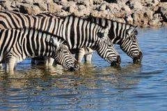 Agua potable de las cebras, waterhole de Okaukeujo Fotografía de archivo