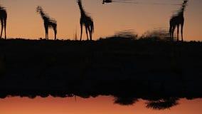 Agua potable de las jirafas en waterhole almacen de metraje de vídeo