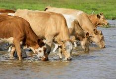 Agua potable de las vacas Foto de archivo