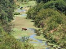 Agua potable de las vacas Fotografía de archivo