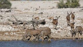 Agua potable de los antílopes de Kudu almacen de video