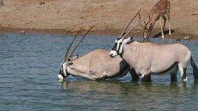 Agua potable de los antílopes del Gemsbok almacen de metraje de vídeo