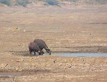 Agua potable de los búfalos de agua del agua recogida Foto de archivo libre de regalías