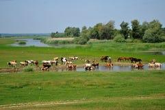 Agua potable de los caballos Imágenes de archivo libres de regalías