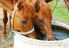 Agua potable de los caballos Fotos de archivo libres de regalías