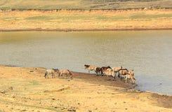 Agua potable de los caballos en el lago Fotos de archivo