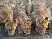 Agua potable de los cachorros de león Imagenes de archivo