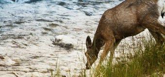 Agua potable de los ciervos Fotos de archivo libres de regalías