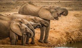 Agua potable de los elefantes en el agujero de agua Imágenes de archivo libres de regalías