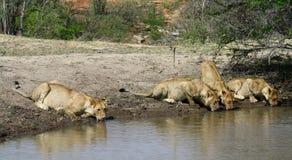 Agua potable de los leones sedientos en un agujero Foto de archivo