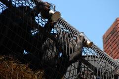 Agua potable de los monos sedientos Foto de archivo libre de regalías
