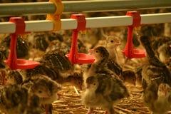 Agua potable de los pequeños polluelos Fotos de archivo