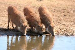 Agua potable de Warthogs Foto de archivo libre de regalías