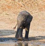 Agua potable del becerro del elefante Fotos de archivo