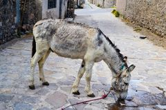 Agua potable del burro gris en la calle foto de archivo