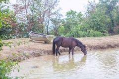 Agua potable del caballo Fotos de archivo