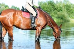 Agua potable del caballo en el río después del entrenamiento del deporte Imágenes de archivo libres de regalías
