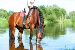 Agua potable del caballo en el río después del entrenamiento del deporte Foto de archivo