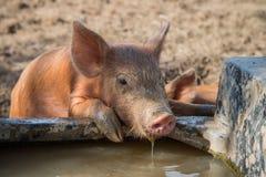 Agua potable del cerdo del bebé Fotos de archivo libres de regalías