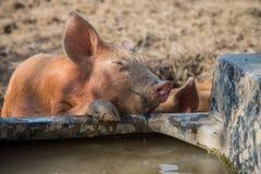 Agua potable del cerdo del bebé Fotografía de archivo libre de regalías