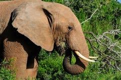Agua potable del elefante en la presa de Harpoor Imagenes de archivo