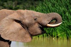 Agua potable del elefante en la presa de Harpoor Foto de archivo libre de regalías