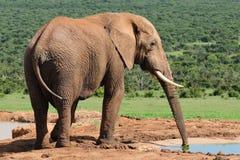 Agua potable del elefante en la presa de Harpoor Fotos de archivo libres de regalías