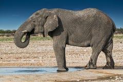 Agua potable del elefante en la sabana de Etosha nafta fotografía de archivo libre de regalías