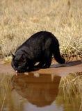 Agua potable del gato negro Imagenes de archivo