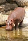 Agua potable del hipopótamo fotografía de archivo libre de regalías