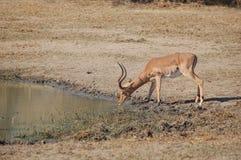 Agua potable del impala (melampus del Aepyceros) Imagen de archivo libre de regalías