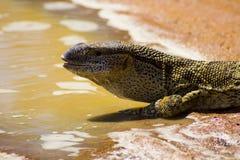 Agua potable del lagarto del agua en la tierra Imagen de archivo