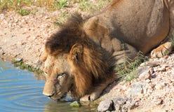 Agua potable del león (panthera leo) Imagen de archivo