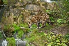 Agua potable del leopardo Fotos de archivo libres de regalías