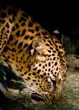 Agua potable del leopardo del parque zoológico imágenes de archivo libres de regalías