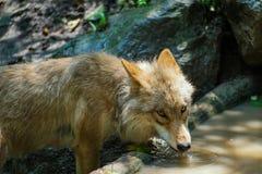 Agua potable del lobo de la charca Imagen de archivo libre de regalías
