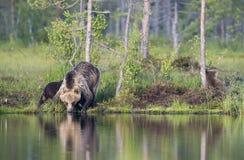 Agua potable del oso Fotos de archivo