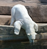 Agua potable del oso polar foto de archivo libre de regalías