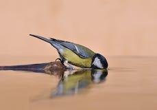 Agua potable del pájaro. Imágenes de archivo libres de regalías